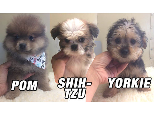PUPPIES CKC registered Shih-Tzus Yorkies  Pomeranian Pups Males  Females adorable pre-spoiled