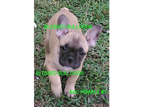 FRENCH BULLDOG PUPPIES AKC Registered male  females parents on premise 2050 Visa  Master Car