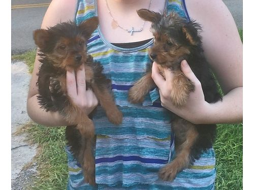 YORKIE PUPPY 14wk old male parents on premise Father is AKC full blooded mother wno papers tai
