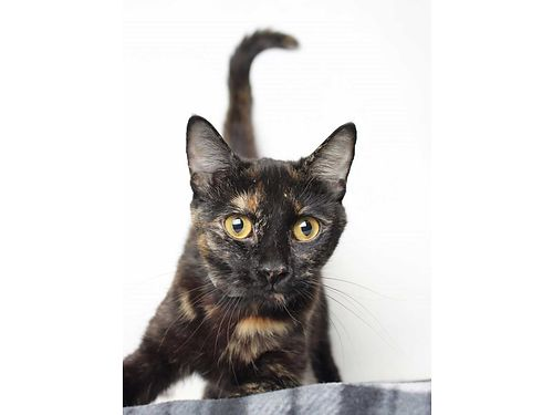 SCOOTALOO A BEAUTIFUL 1YR OLD TORTISHELL cat with an outgoing personality She loves to spend her da