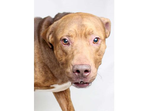 MASON IS A 7YR OLD AMERICAN PIT MIX with a young soul Mason will definitely keep you on your toes w