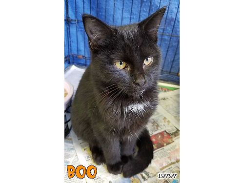 BOOS A YOUNG PARTY ANIMAL in search of a playmate She needs a home wanother young cat as this kit