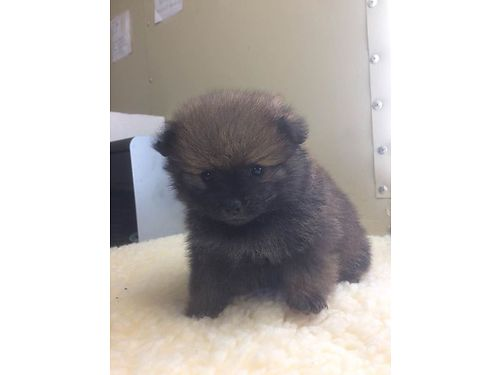POMERANIAN PUPS CKC registered 3 Males  1 Female adorable pre-spoiled beautiful babies parents