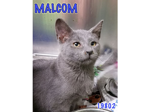 MALCOLMS A SWEET RUSSIAN BLUE KITTEN and the last of his litter looking for a home Adoption fee in