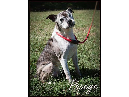 AT 11 YEARS OF AGE POPEYE is a goofy wonderful fun Boston Terrier mix ready for his retirement hom