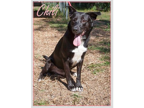 CHILI IS A SWEET MALE BORDER COLLIE MIX looking for a great new home Adoption fee includes neuter
