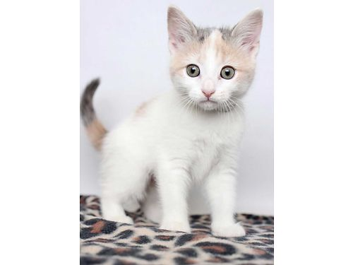ELLIE MAE IS A SNUGGLY KITTEN whos ready to grow up in a loving home She turns on her purr engine