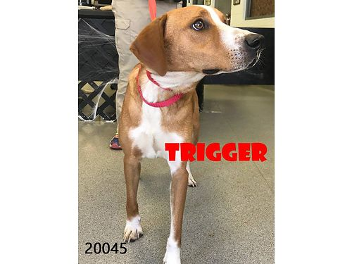 TRIGGER IS A VERY POLITE gorgeous little hound boy who is lots of fun He would love to find a new