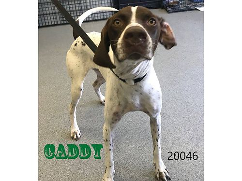 CADDY IS A BEAUTIFUL SHORT-HAIRED GERMAN POINTER MIX He is playful  friendly Adoption fee 55 inc