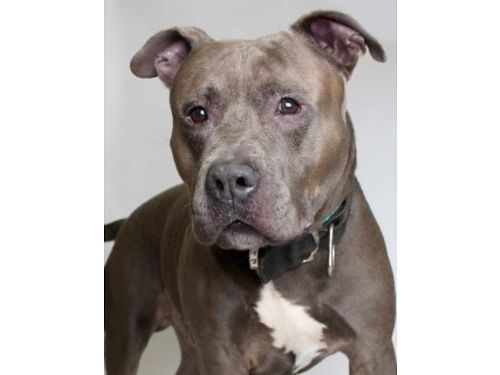 SASQUATCH IS A 4YR OLD PIT MIX with a sweet  calm demeanor He would love to chase after toys in th