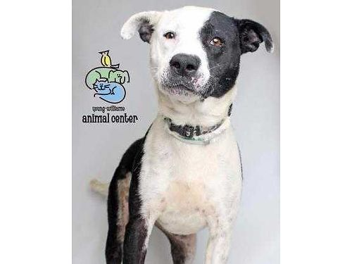SADIES A 5YR OLD PIT MIX who is a little shy Shed prefer to go to a home wno kids  no other pet