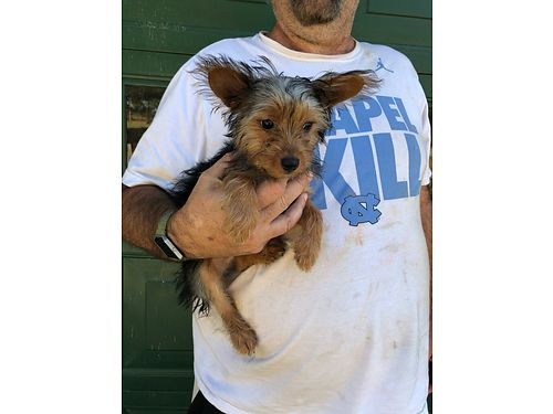 YORKIE PUPPY 3 month old male parents on premise Father is AKC full blooded mother wno papers