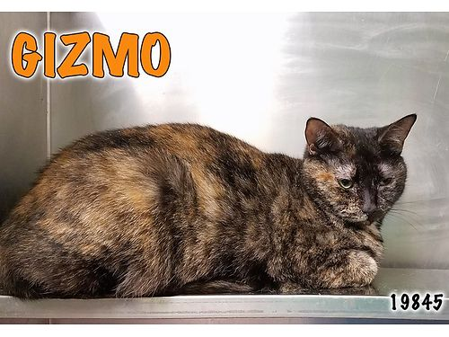 GIZMOS A GORGEOUS TORTI wa black stripe down her forehead sweeping down her nose Shes waiting fo