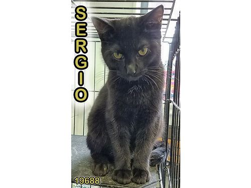 SERGIOS A SWEET YOUNG BOY who gets along well with other cats He is playful but not overly so He