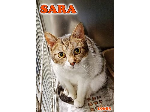 SARA CAME IN WITH KITTENS  is done being a Mommy Shes a spayed 2yr old looking for a calm indoor