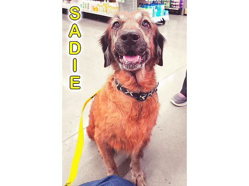 SADIES A LOW MAINTENANCE SENIOR with a touch of arthritis looking for a warm spot on a bed to reti