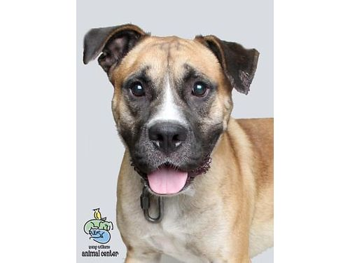 BOBS A 3YR OLD BOXER  RETRIEVER MIX gentle curious full of energy adventurous a charmer Hes