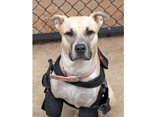 ROYALS A 2YR OLD LAB MIX Royal is a hurricane survivor with a heart of gold she loves other dogs