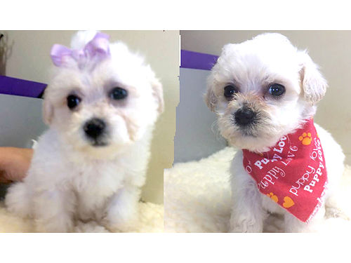 PUPPIES BICHON  POOCHION PUPS CKC registered adorable pre-spoiled beautiful babies parents on p