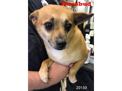 ROSEBUD IS A SWEET CHIHUAHUA MIX This darling lap dog is about 6yrs old Adoption fee 55 includes