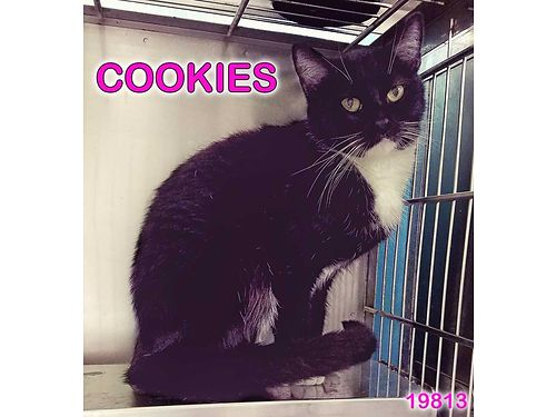 COOKIESS A QUIET GIRL under 2ys old She would love a calm indoor home to relax in Adoption fee 5