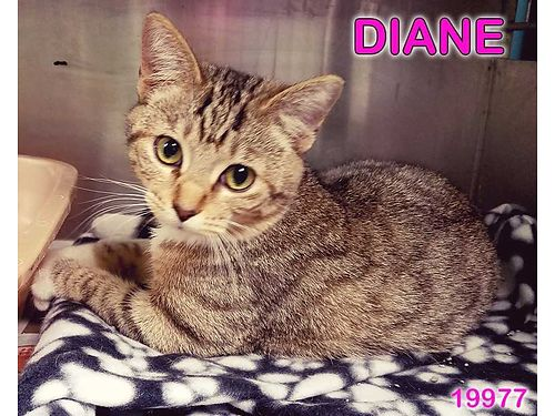 DIANE IS A SWEET PLAYFUL KITTEN looking for a loving home Adoption fee 55 includes spay Microchip