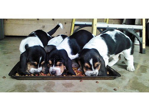 BASSET HOUND PUPPIES CKC Registered tri-colors males only parents on premise will be up to dat