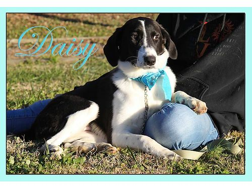 DAISY IS A YOUNG ADULT HOUND MIX who is sweet as pie Adoption fee 55 includes spay vaccines micr