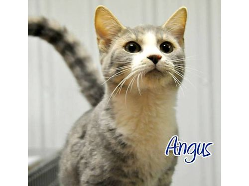 ANGUS IS A VERY PLAYFUL YOUNG MALE KITTEN Adoption fee 55 includes neuter vaccines microchip fl