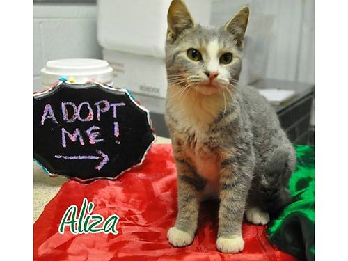 ALIZA IS SISTER TO ANGUS She is a playful young female kitten Adoption fee 55 includes spay vacc