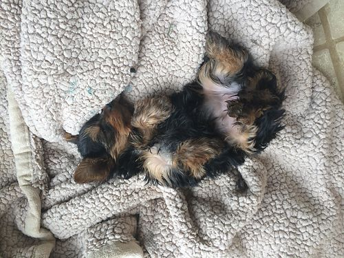 YORKIE PUPPIES AKC reg will be wormed  have 1st shots when ready to go close to Christmas beauti