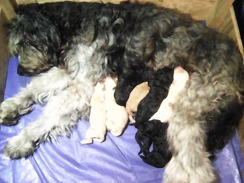 GOLDENDOODLE PUPPIES F1B New Litter Males  Females Will be ready for their for their FUREVER Ho