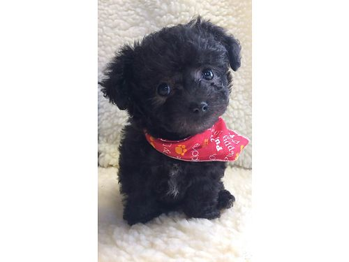 YORKIE-POO PUPPY Tea Cup Male 9wks adorable pre-spoiled beautiful baby parents on premise will