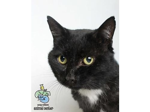 MOON PIE IS A ROMANTIC beautiful black cat whos ready to go home today He enjoys talking making