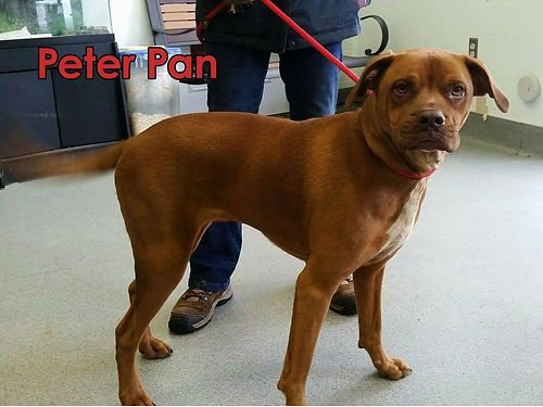 PETER PANS A 2YR OLD BULLY MIX Hes a perfect gentleman Walks well on a leash ignores cats  lov