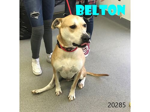 BELTONS A HANDSOME LAB MIX he was well taken care of Has a strange leg from a previous surgery i