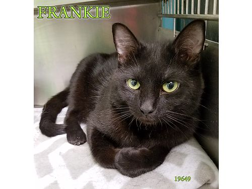 FRANKIES A SLEEK BLACK CAT with a heart of gold Just over 1yr old hed love an indoor home to pla