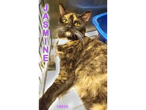 JASMINES A STUNNING TORTIE GIRL that is not quite out of kittenhood Shes 5mos old  full of curio