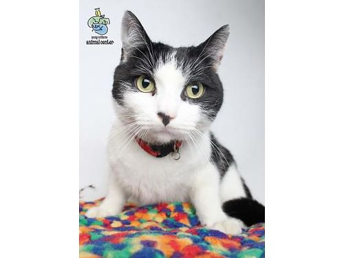 CHARLIE IS A CURIOUS fun energetic 5yr old male cat whos ready to go home today He enjoys other