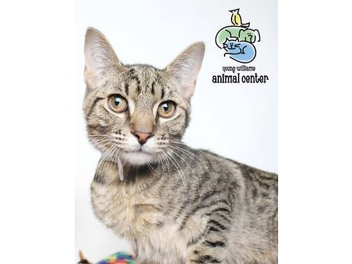 HOYT IS A KIND people loving fun 6mo old male cat whos ready to grow up in a loving home For inf