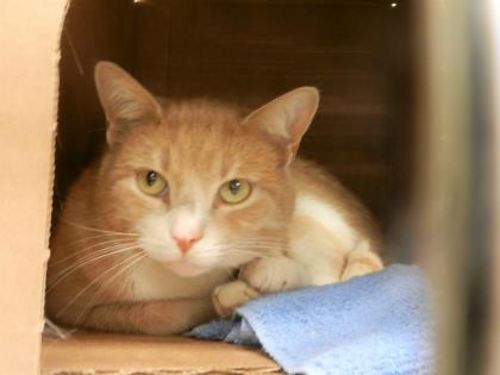 FOXGLOVES A 5YR OLD ORANGE CAT He loves to chase toys Hell tug at your heart strings  your shoe
