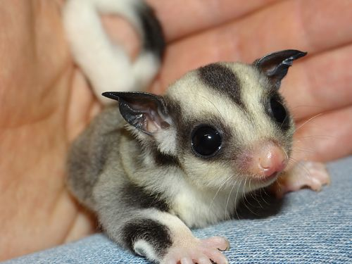 SUGAR GLIDERS waccessories Mosaic  White Face Mated Pairs Available health