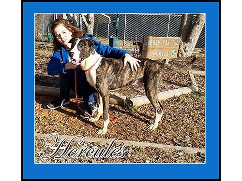 HERCULES IS A GREAT DANE  HOUND MIX fellow about 15yrs old Extra special boy with a great big he