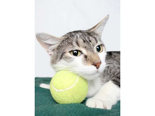 VINNY IS A COOL fun adventurous cat whos detemerined to find a permanent home For info on Vinny