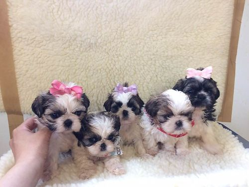 SHIH-TZU PUPPIES CKC registered Males  Females adorable pre-spoiled beautiful babies parents on