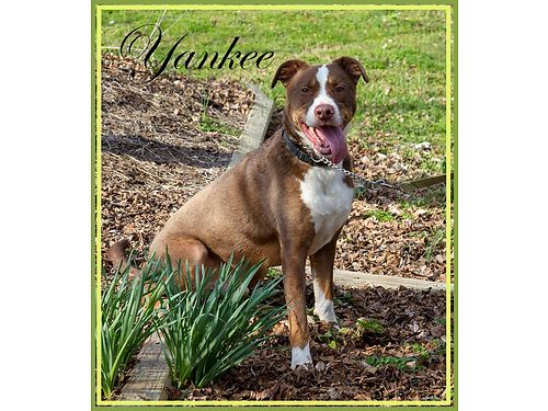 YANKEE IS A 3YR OLD AUSTRALIANPIT MIX Hes a sweet boy who likes to talk  is very high energy