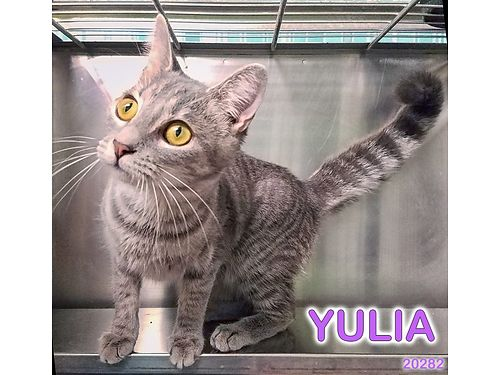 YULIA IS 1YR OLD SILVER TABBY She is a very sweet  playful girl Adoption fee 110 includes spay