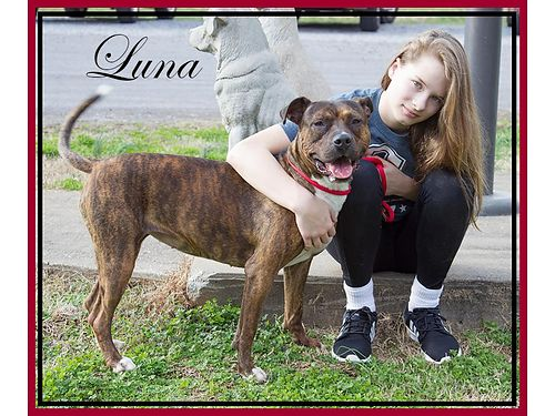 LUNAS A BEAUTIFUL BOXERPIT MIX about 3yrs old She knows basic commands  is housebroken Adoptio