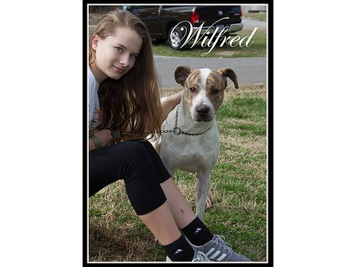 HANDSOME WILFREDS A 1YR OLD HOUNDPIT MIX His owners could not care for him any longer so hes loo