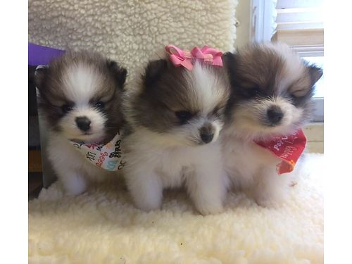 POMERANIAN PUPPIES CKC Registered Parti Poms Beautiful Males  Females pre-spoiled babies paren